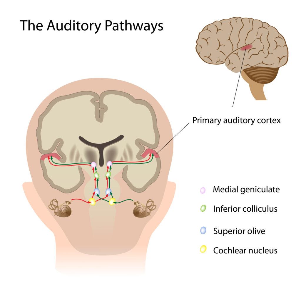 auditory-pathway